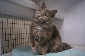 Fluff is a nine month old spayed female with an adorably unruly coat of long gray fur She is on