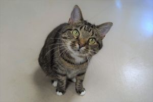 Bella is a 6 year old Tabbywhite spayed female Shes outgoing and friendly towards people and can