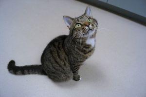 Bella Tabby Cat