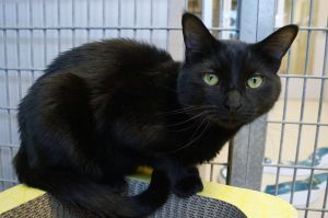 Pitch is a two year old neutered male domestic short hair He was found as a stray and is nervous