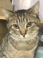 Ollie -- LOVING LAP CAT 1