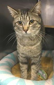 Ollie -- LOVING LAP CAT 2