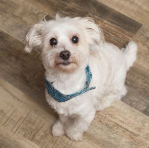 COBY is a 3 year old 10 pound Havanese mix When we rescued Coby he was in a horrible physical