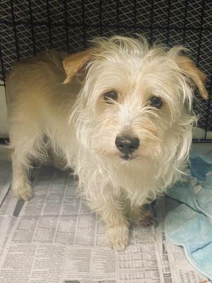 Toby Terrier Dog