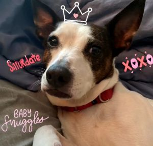 Meet Belinda an adorable 8-year-old rat terrier mix in need of a new home Belinda is currently in