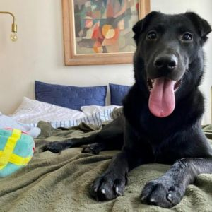 Hunter is a sweet playful pup He is a year old and currently weighs 48 pounds