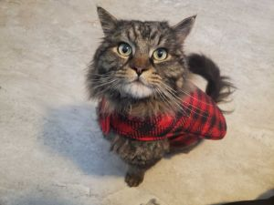 Angus is a sweet cat who is the perfect companion if you like affectionate cats Angus was about a 5