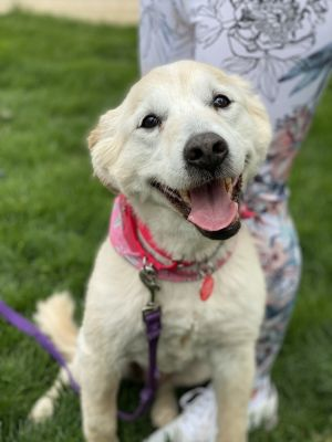 This spring calls for some sun and Sandie Sandie is an 42lb 11yo golden lab whose owner passed and