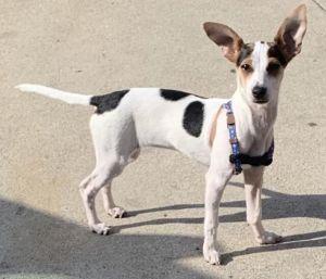 Daisy Rat Terrier Dog