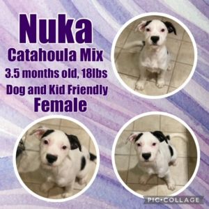 Nuka is a great dog with the cutest face She plays very nicely with other dogs super treat motivat