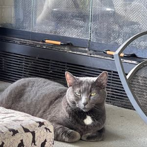 Mai is one half of a magnificent duo  Two year old tuxedo siblings Mai Grey and Tai Black and