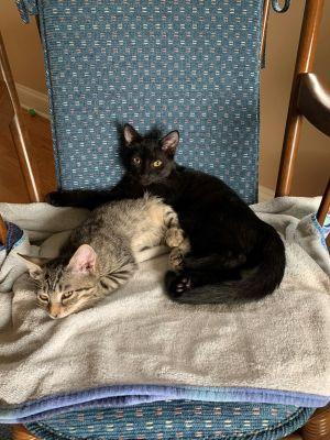 This is Jojo a beautiful sleek black 13 week old female and Dylan a 12 week old tiger tabby boy