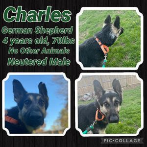 Charles is 4 years old about 70-75lbs he looks as if hes a pure GSD Charles is a sweet boy