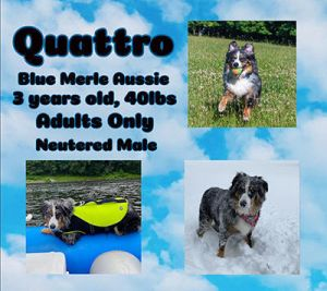 Quattro is a very sweet boy but he has not been getting nearly enough exercise for his breedenergy