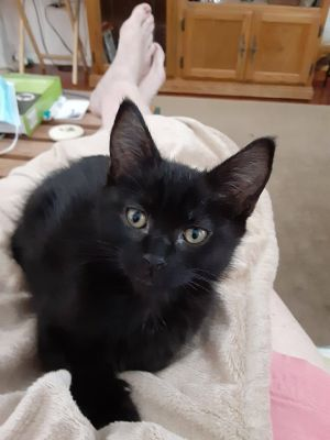 Gloria (Pre-adopt only) Domestic Short Hair Cat
