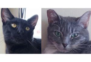 Huxley (M/Black) & Lucy (F/Tabby) *Bonded Pair* Domestic Short Hair Cat