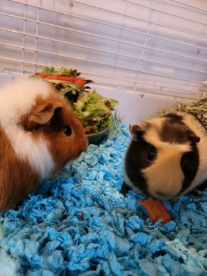 Ham and Cheese Guinea Pig Small & Furry