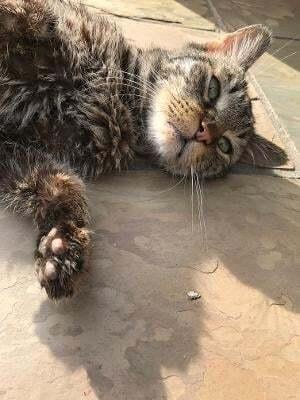 BEE  (seeking sponsors) Domestic Short Hair Cat