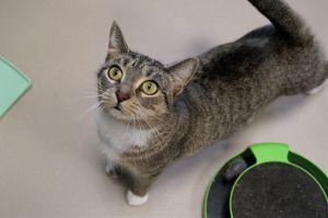 Hemlock Tabby Cat