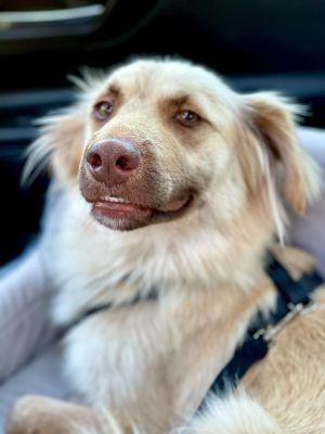 Abby Cocker Spaniel Dog