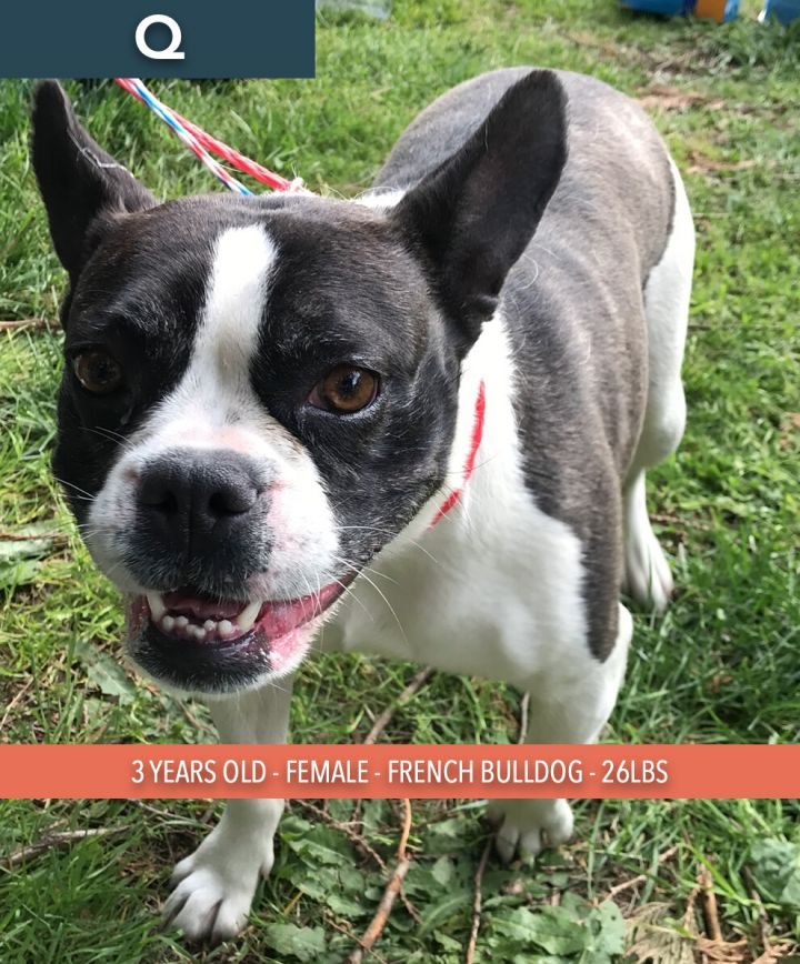 Q, an adoptable French Bulldog in Studio City, CA_image-1