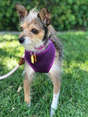 JINX Irish Terrier Dog