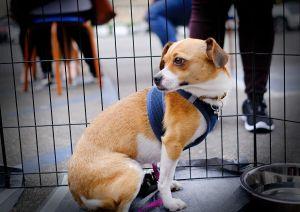Daisy Chihuahua Dog
