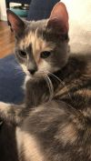 Misty D NYC Dilute Calico