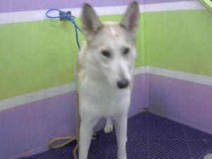 ADELE Siberian Husky Dog
