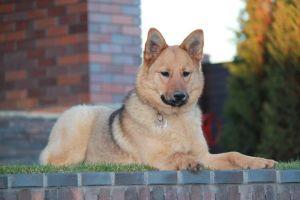 Vesta German Shepherd Dog Dog