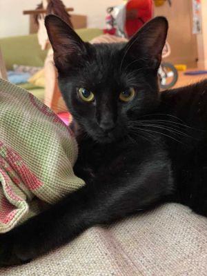 Jacques-Pierre Domestic Short Hair Cat
