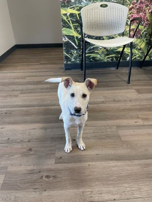 Han Solo is a sweet 4 month old neutered male mix breed from Puerto Rico Hes nervous with people b
