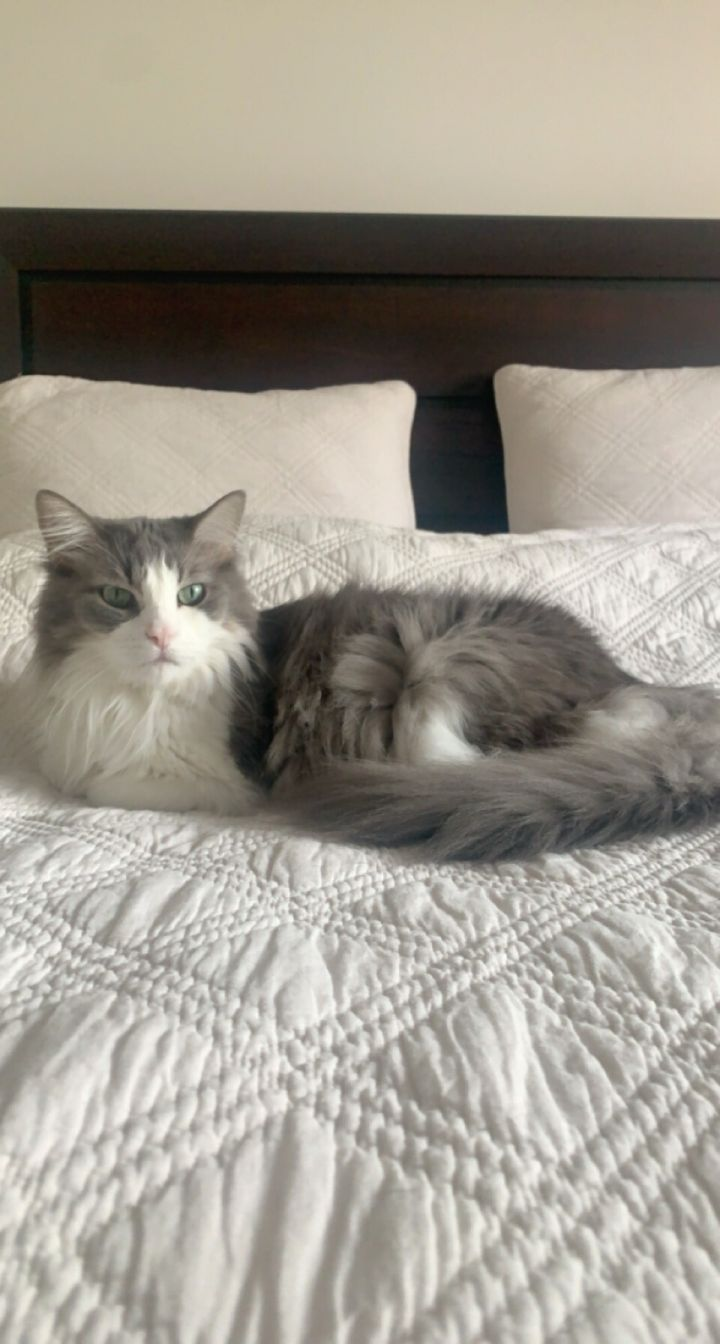 Fluffykins & Fluffy Boy (Bonded Pair) - Pending Adoption 2