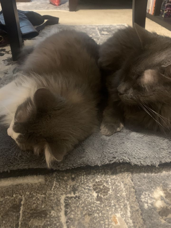 Fluffykins & Fluffy Boy (Bonded Pair) - Pending Adoption 3