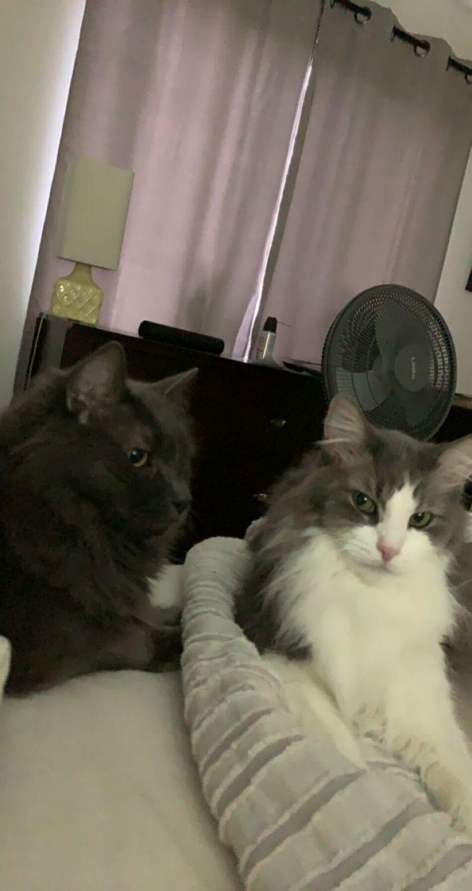 Fluffykins & Fluffy Boy (Bonded Pair) - Pending Adoption