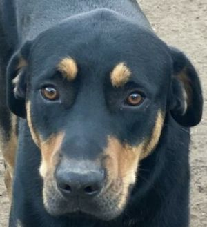 Modi is a two year-old RottweilerRetriever mix rescued from Puerto Rico He is a seventy pound boy