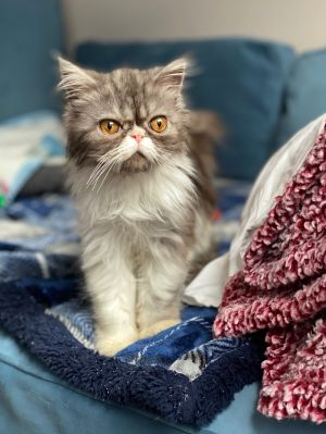 Ducky - Persian Persian Cat