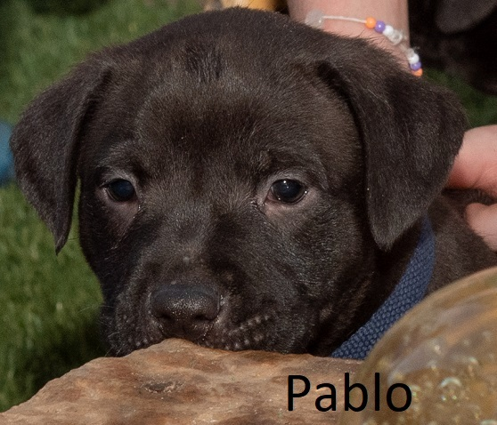 Sable Puppies 1