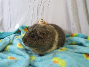 Mathis Guinea Pig Small & Furry