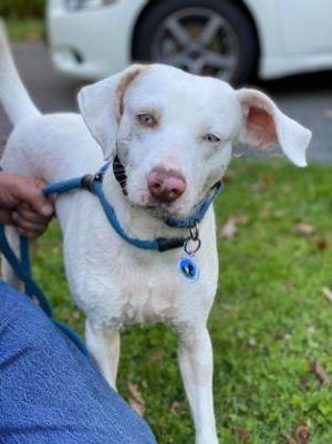 Patchouli Labrador Retriever Dog