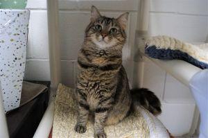 Gypsy Tabby Cat