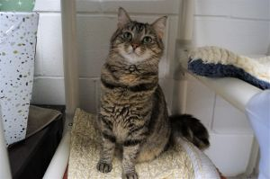 Gypsy is a one year old spayed tabby cat She is cautious and comes around in time if you give