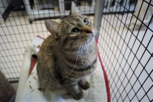 Gypsy is a one year old spayed tabby cat She is cautious and does not tolerate being cornered but