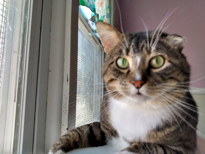 Jo, an adoptable Tabby in Moline, IL_image-1