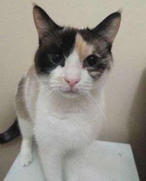 Laila Calico Cat