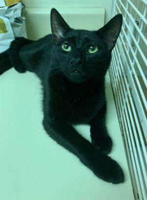 Our black NYC bombshell kitty So pretty youd think this kitty would be a girl but its a boy He