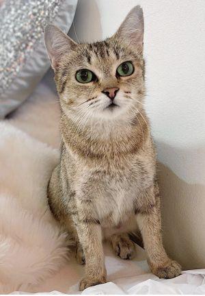 Baguette Domestic Short Hair Cat