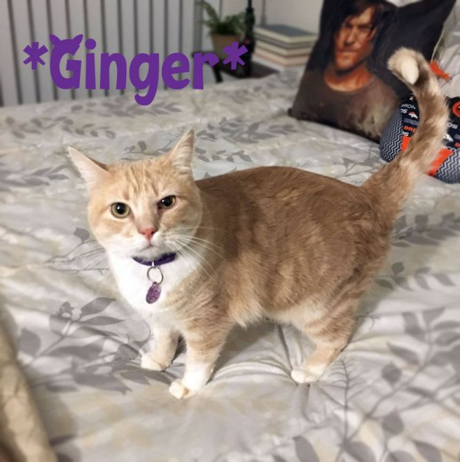 Ginger (Declawed on all 4 paws)