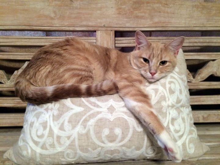 Ginger (Declawed on all 4 paws) 3