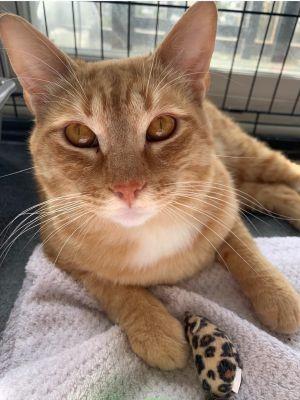 Quantrell Domestic Short Hair Cat